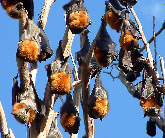Australian Flying Fox Hands Grey-headed fly...