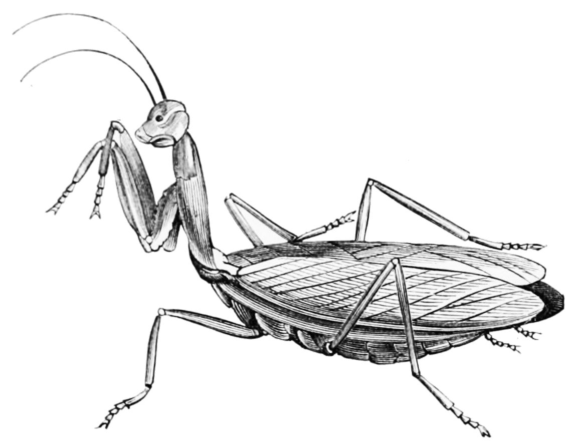 PSM V43 D544 Praying mantis.jpg