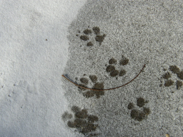 File:Paw prints snow.JPG