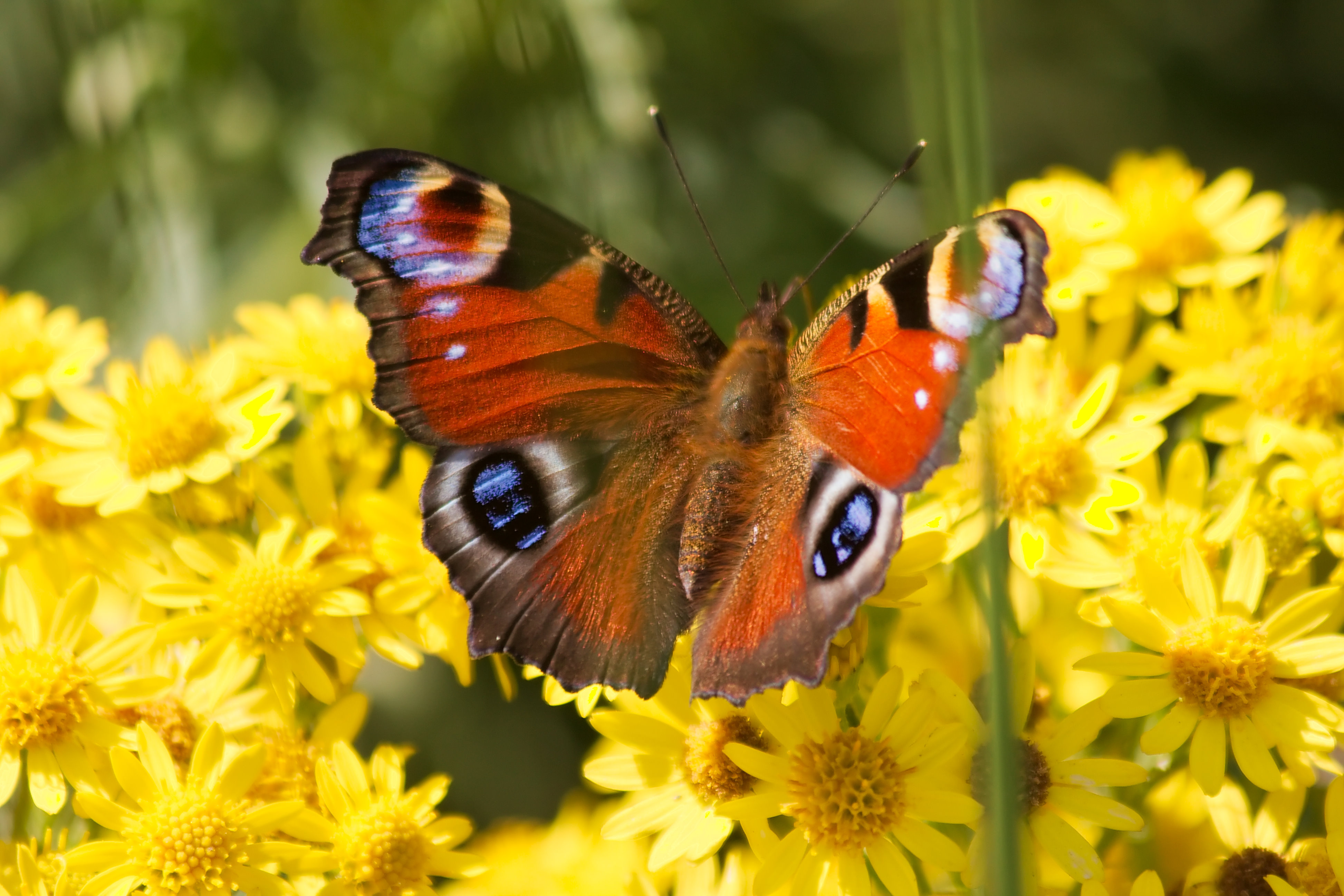 Image Result Forerfly And Flowers