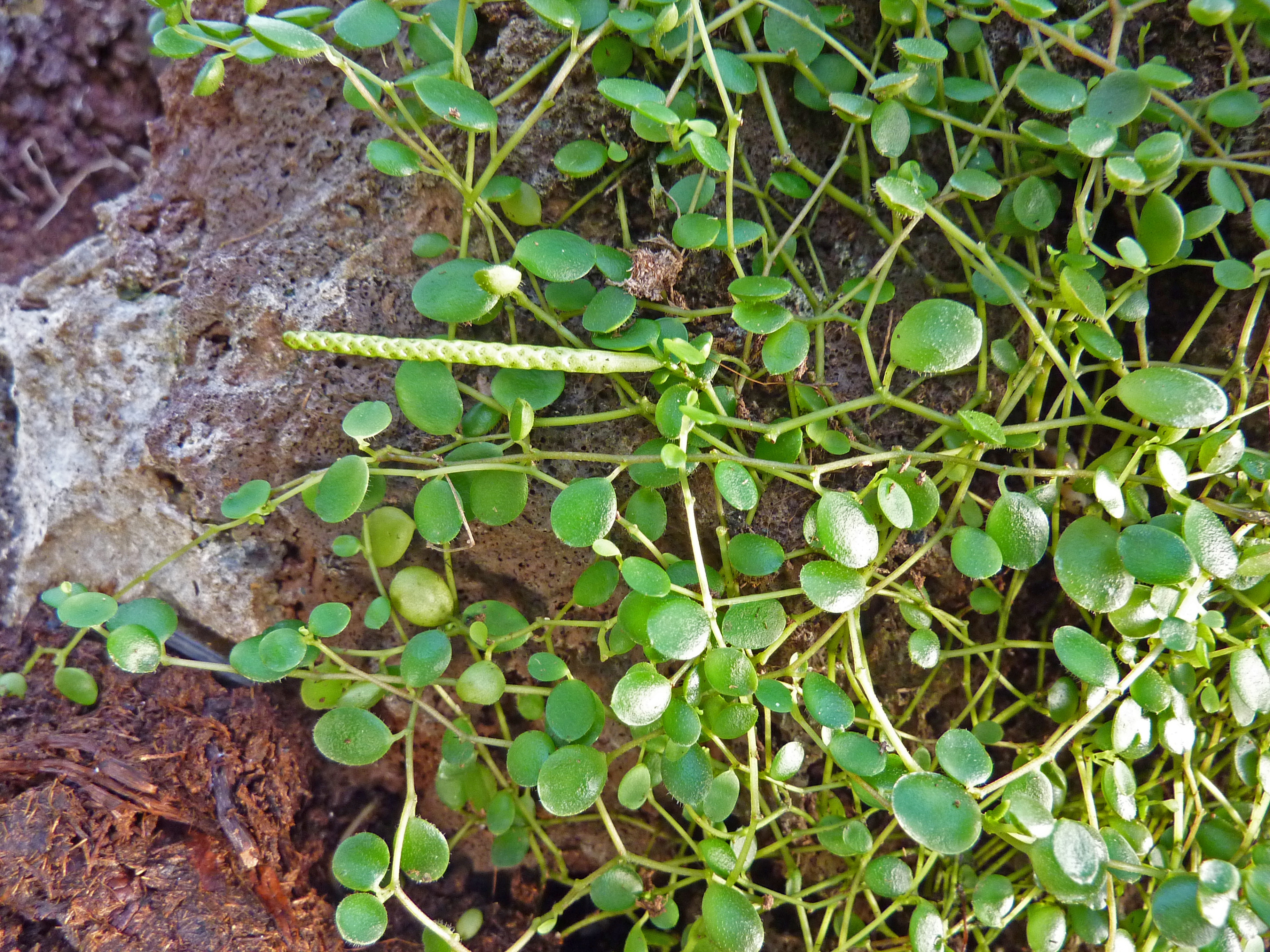 Peperomia File Peperomia Rotundifolia Var Rotundifolia Jpg