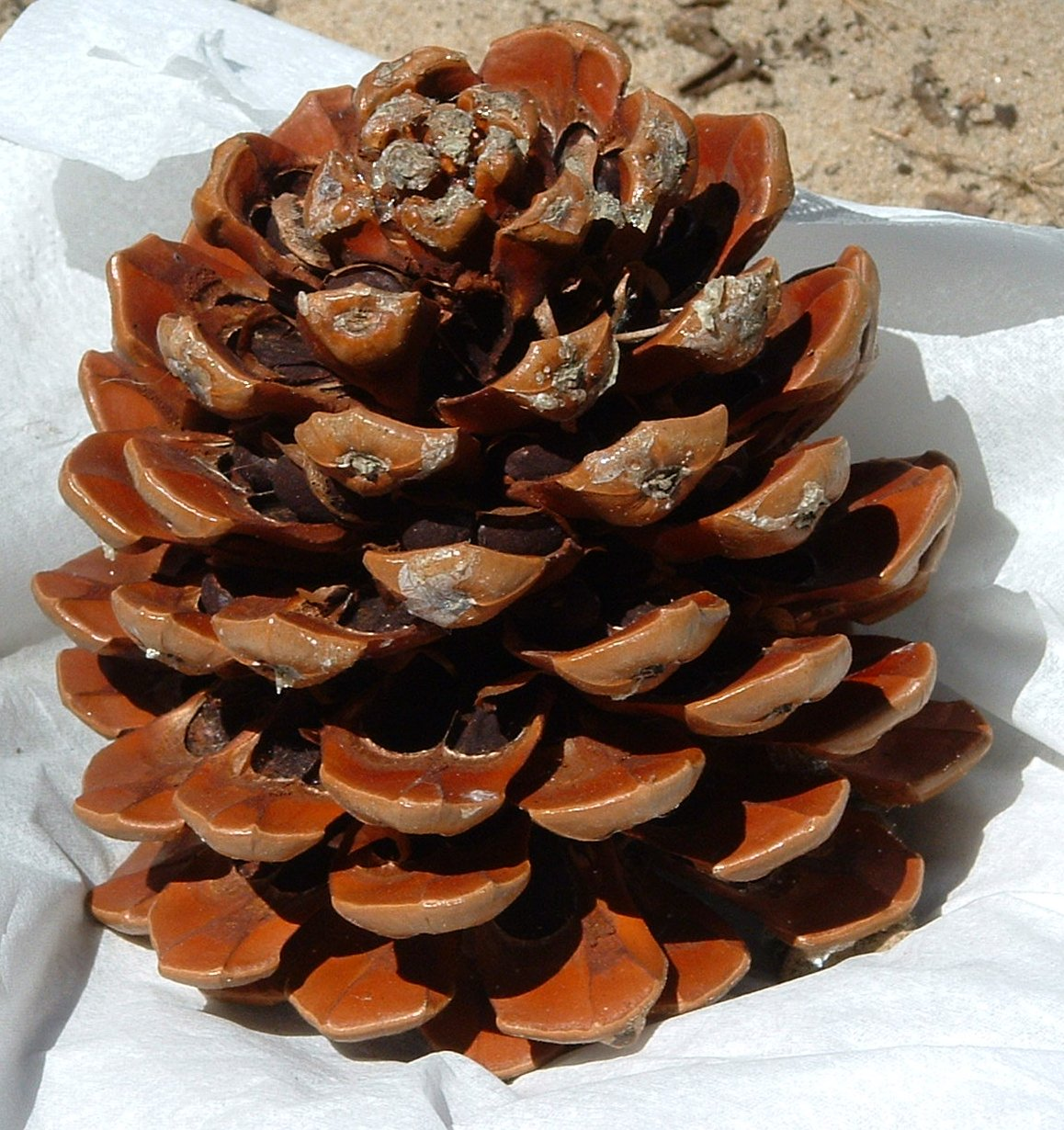 Pinyon Pine Natural Oils Amazon