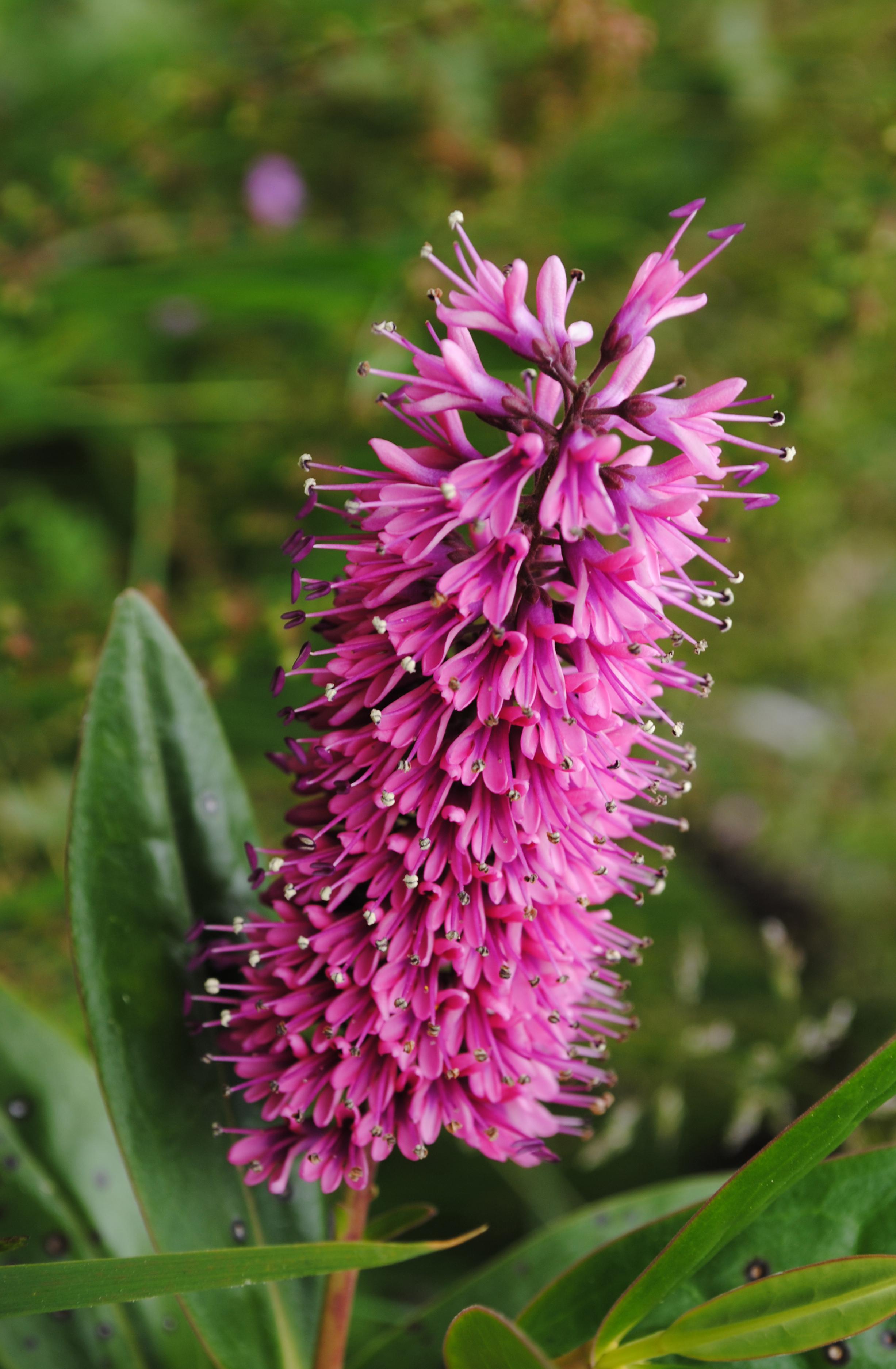 Filepink cone flowerg wikimedia commons filepink cone flowerg mightylinksfo