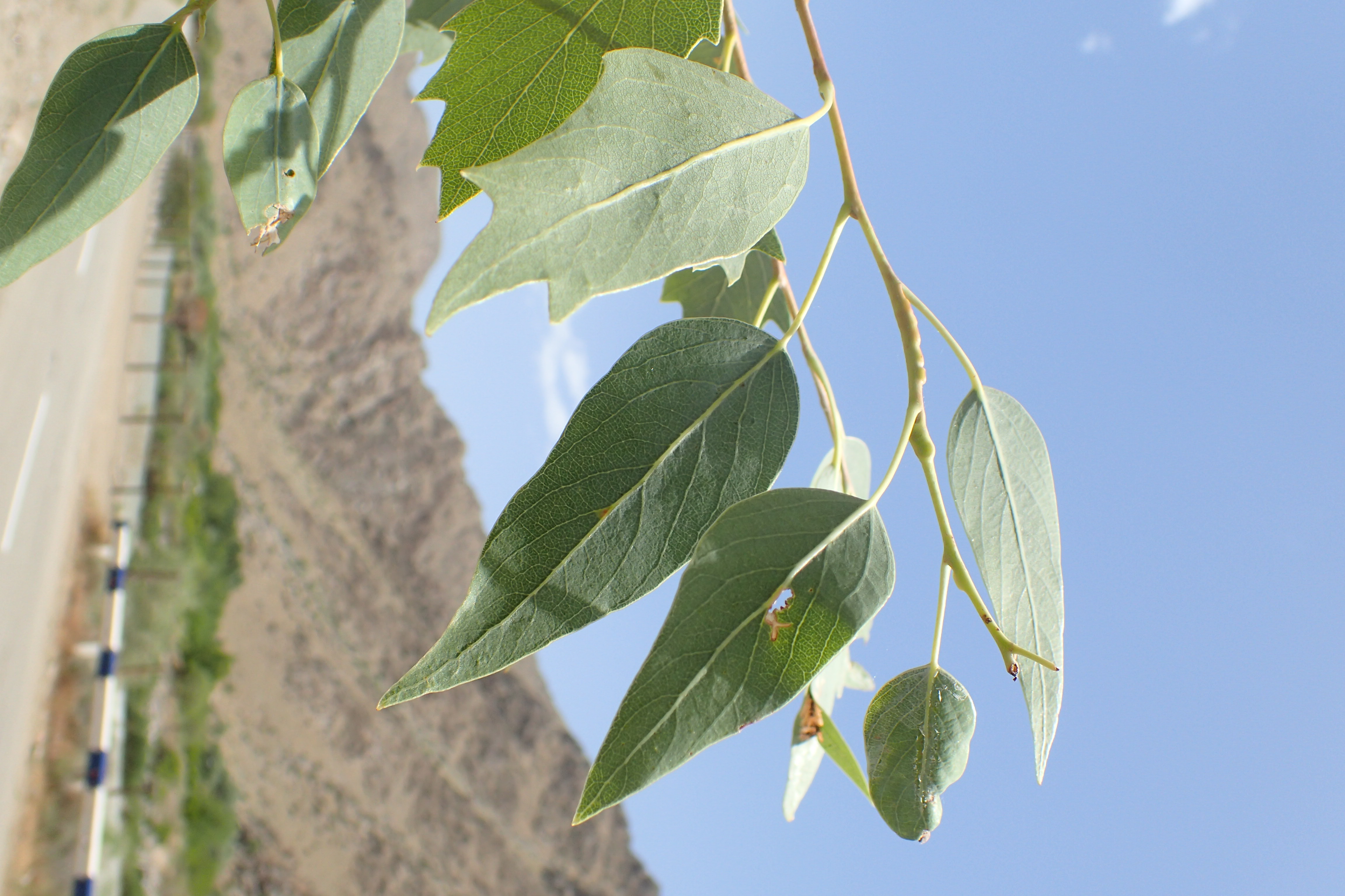 Populus euphratica kz03.jpg