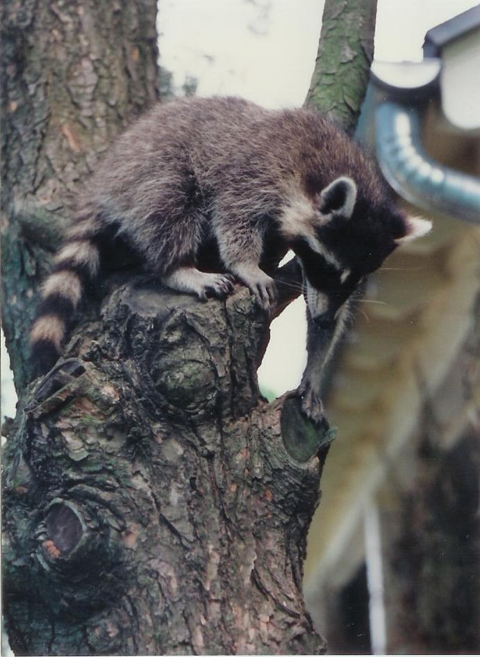 File:Raccoon.jpg