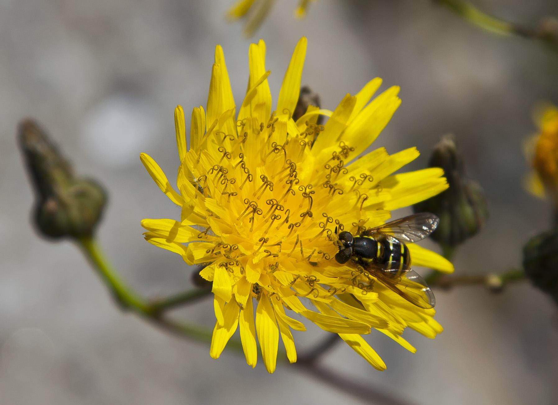 Payl s rfido chrysotoxum arcuatum en un crepis jard n for Caracteristicas de un jardin botanico