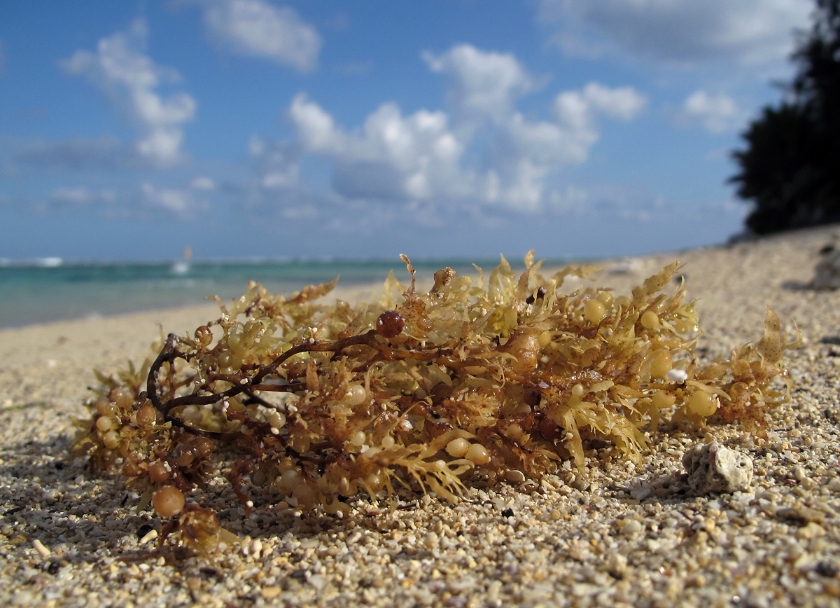 https://upload.wikimedia.org/wikipedia/commons/6/61/Sargassum_sp._%28Sargasse%29.jpg?uselang=fr