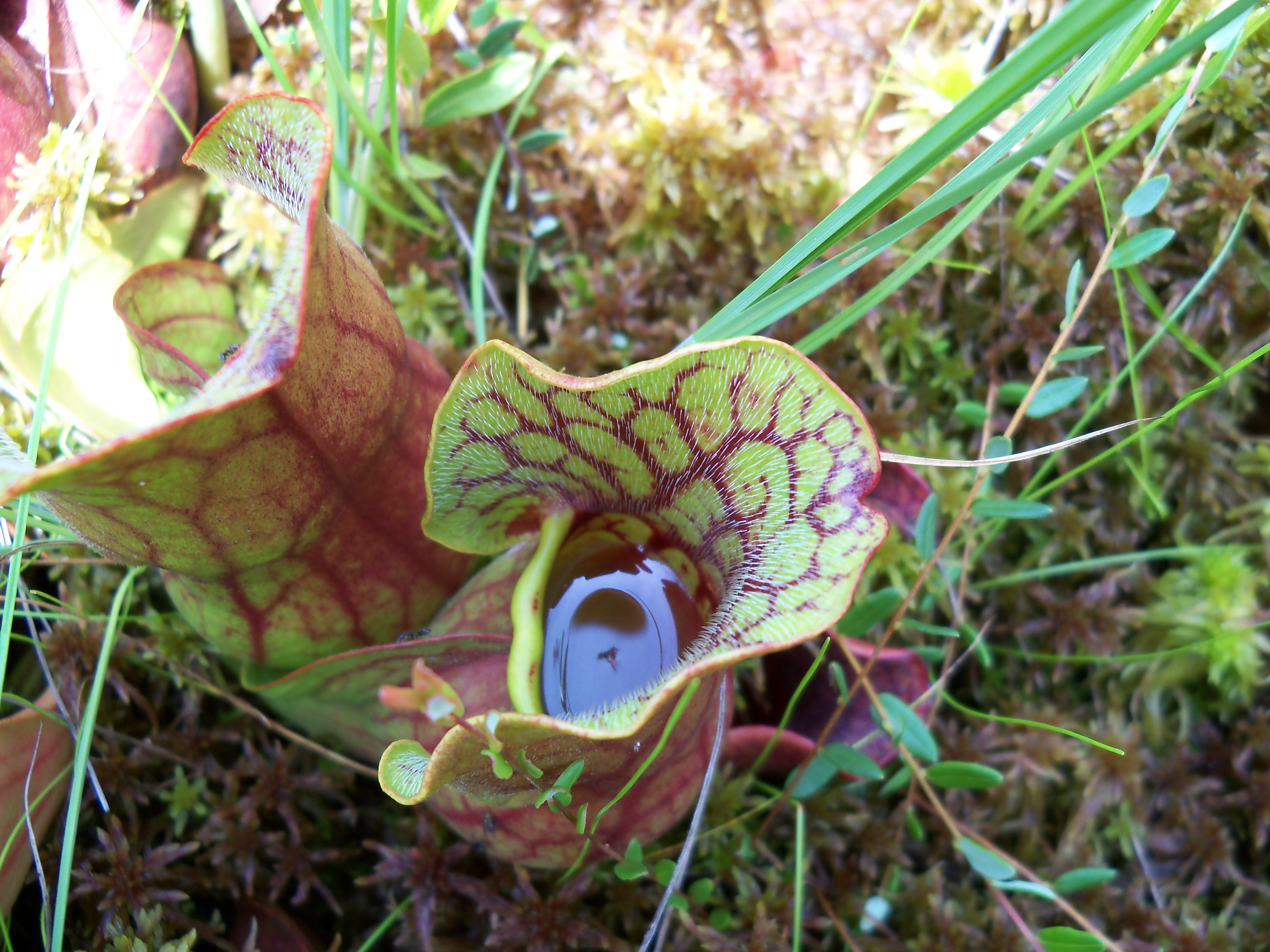 Green, mean, meat-eating machines – Guess what I know? Carnivorous Plants Eating