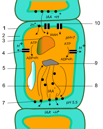 como se transportan las hormonas esteroides