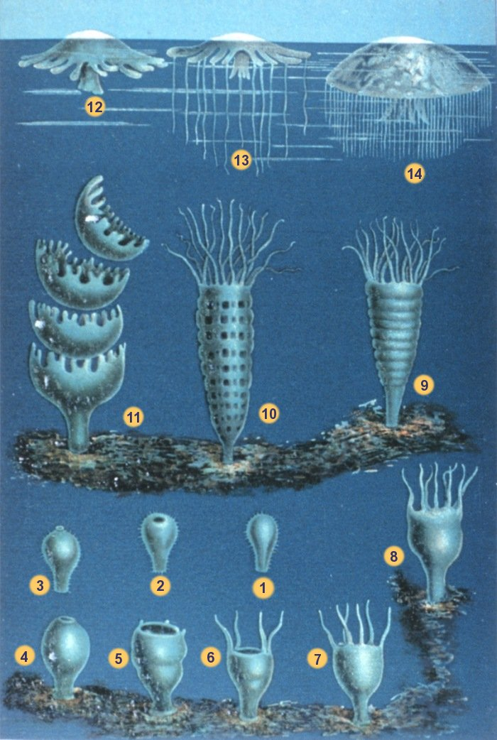 Illustration Of Two Life Stages Seven Jelly Species The Developmental Scyphozoan