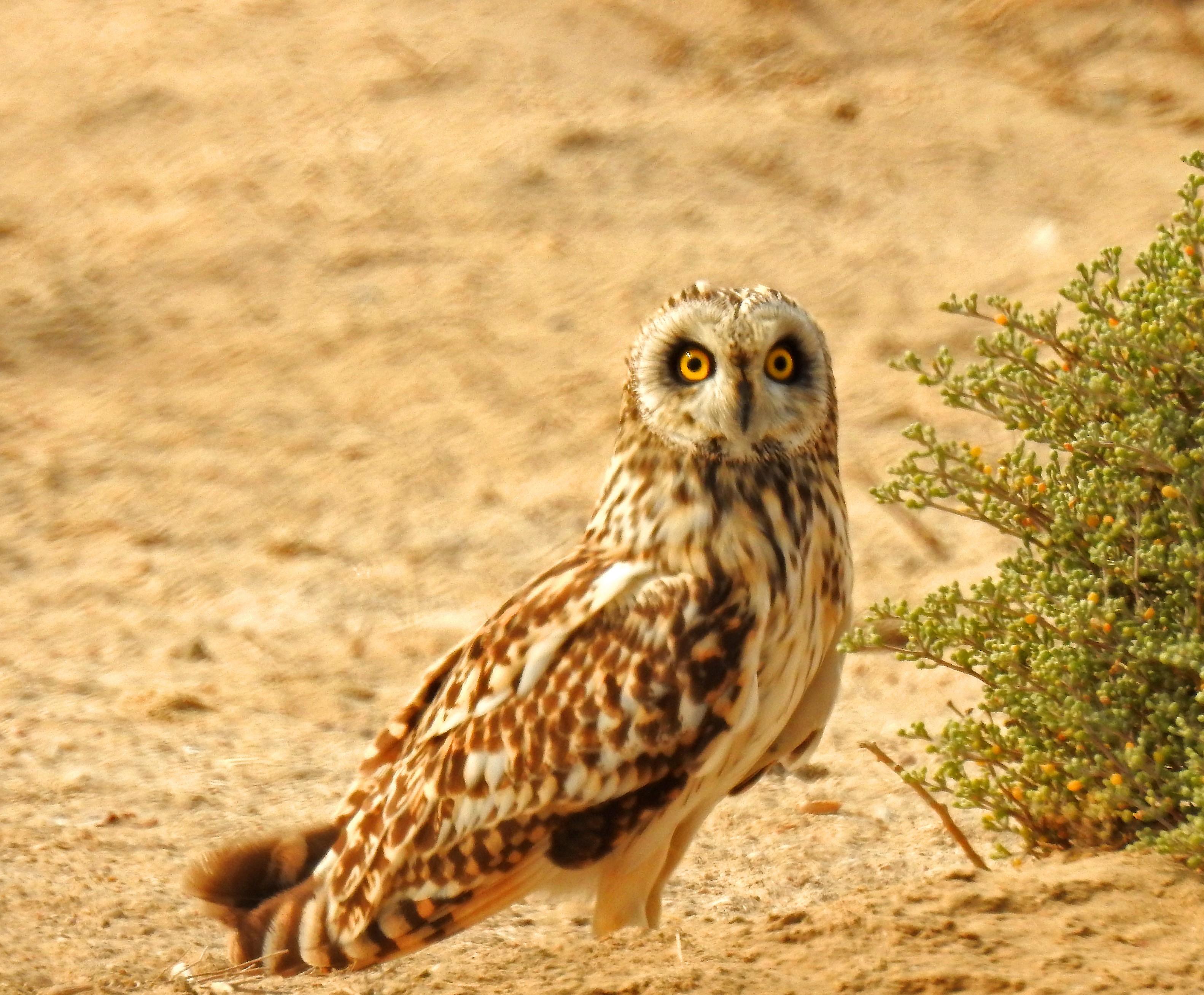 Short-eared owl - Wikipedia