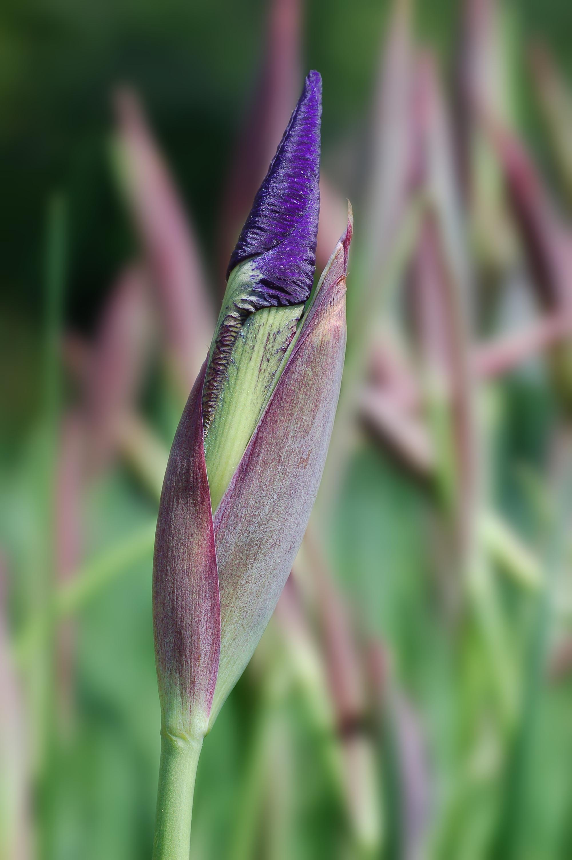 Filesiberian iris iris siberica unopened flower 2000pxg filesiberian iris iris siberica unopened flower 2000pxg izmirmasajfo