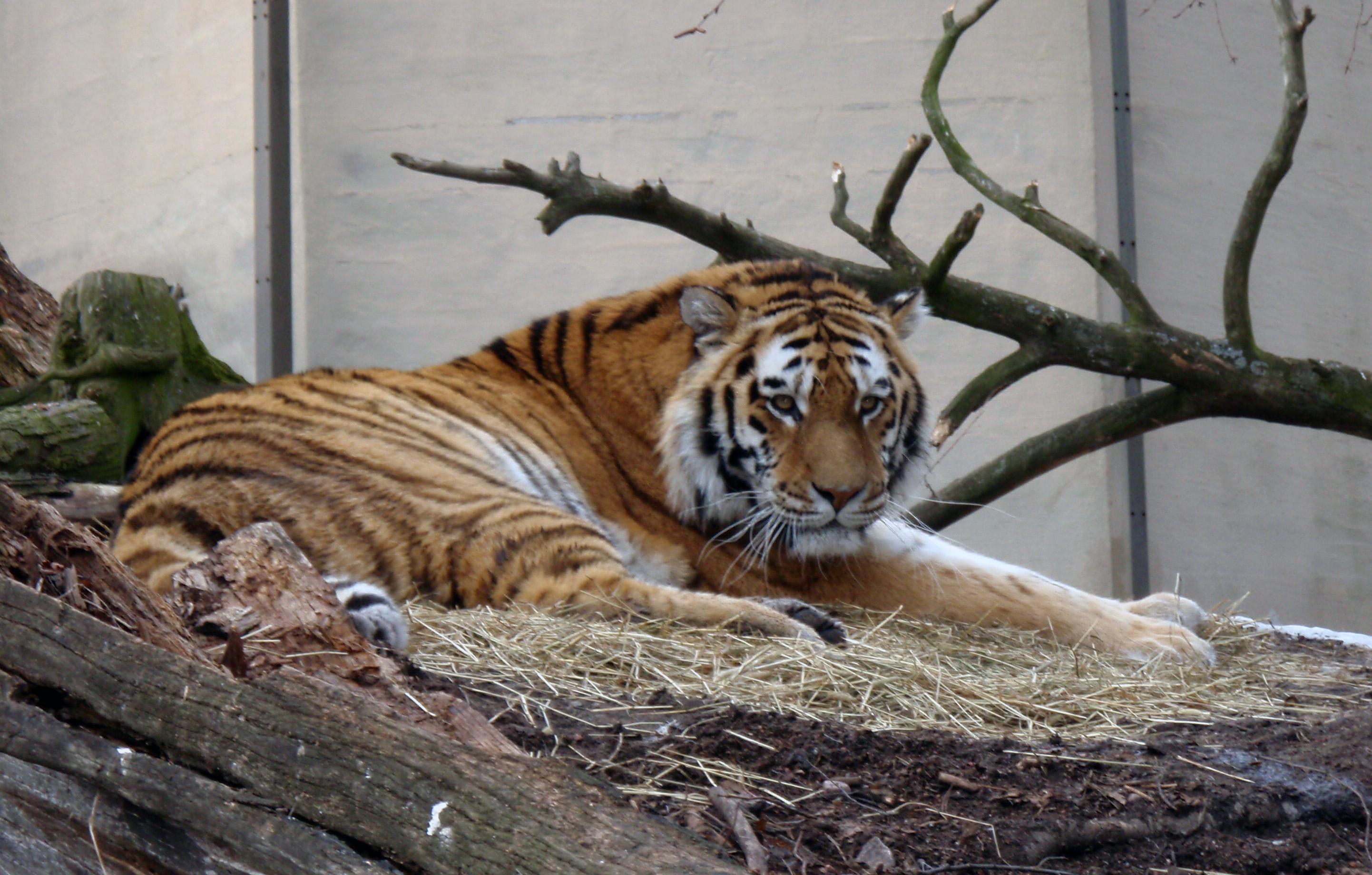 Korkeasaari Tiikeri