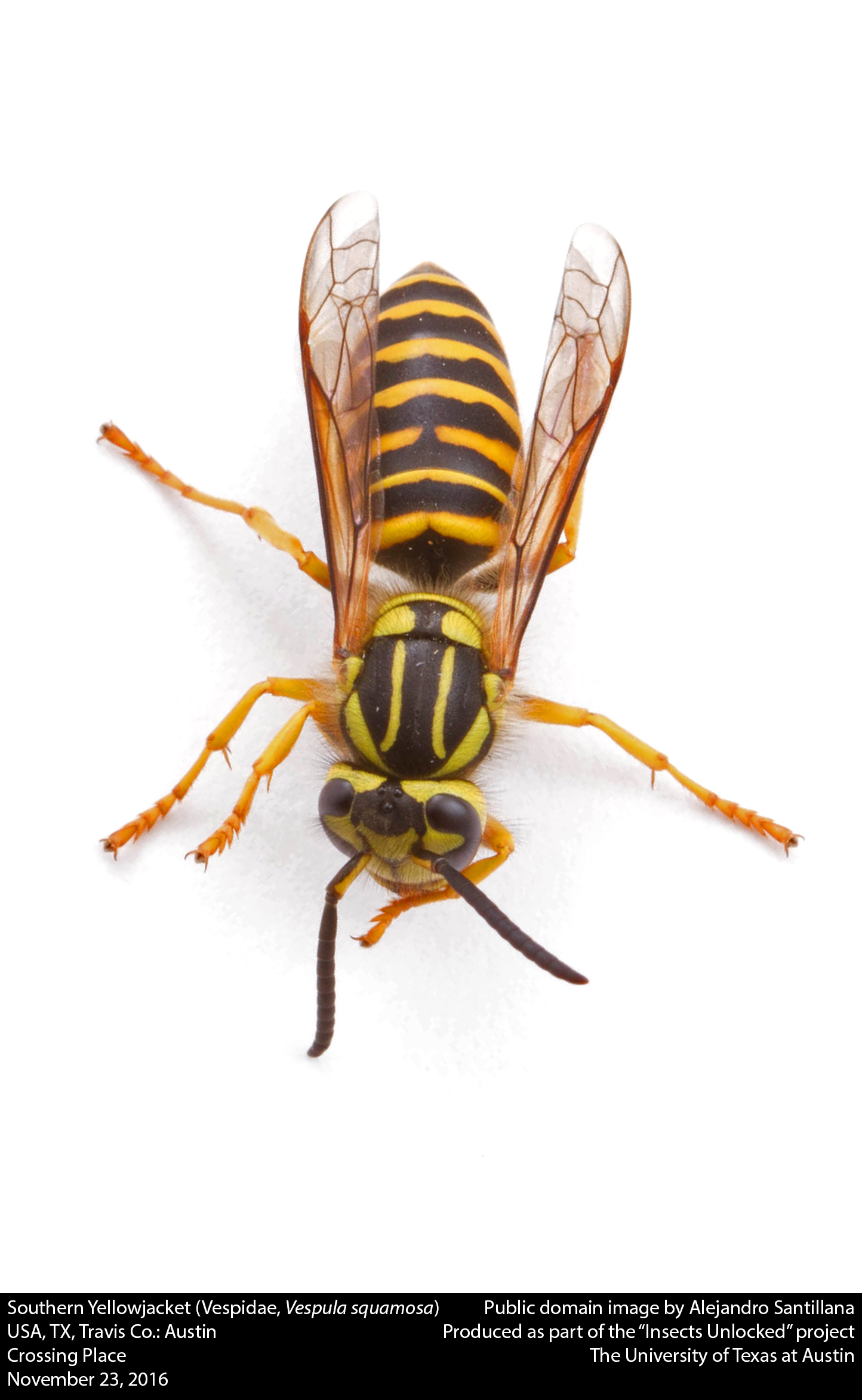 Filesouthern Yellowjacket Vespidae Vespula Squamosa  Jpg
