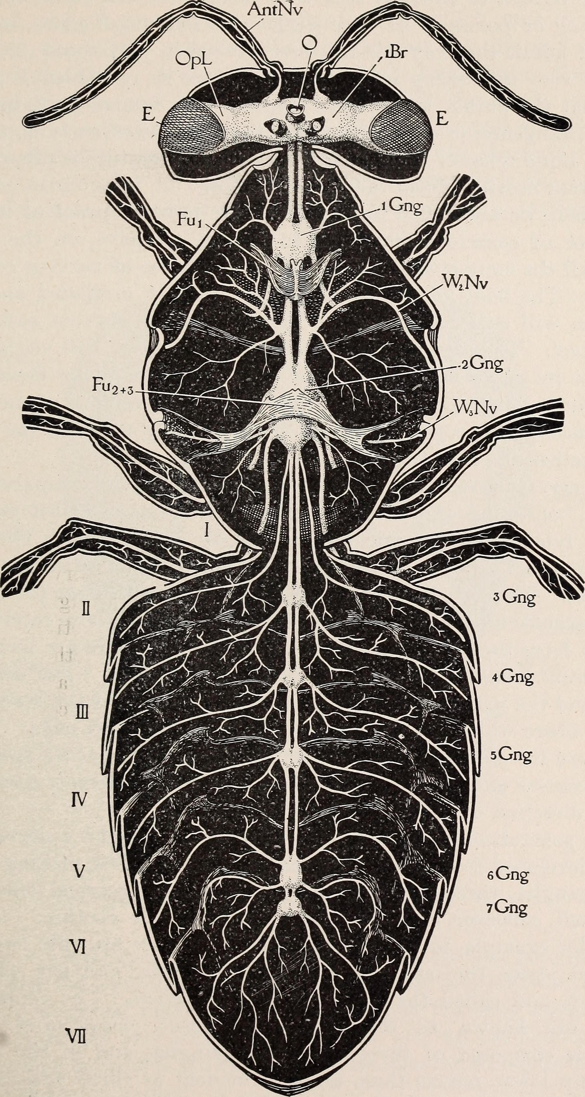 File:The anatomy of the honey bee (1910) (17573995513).jpg ...