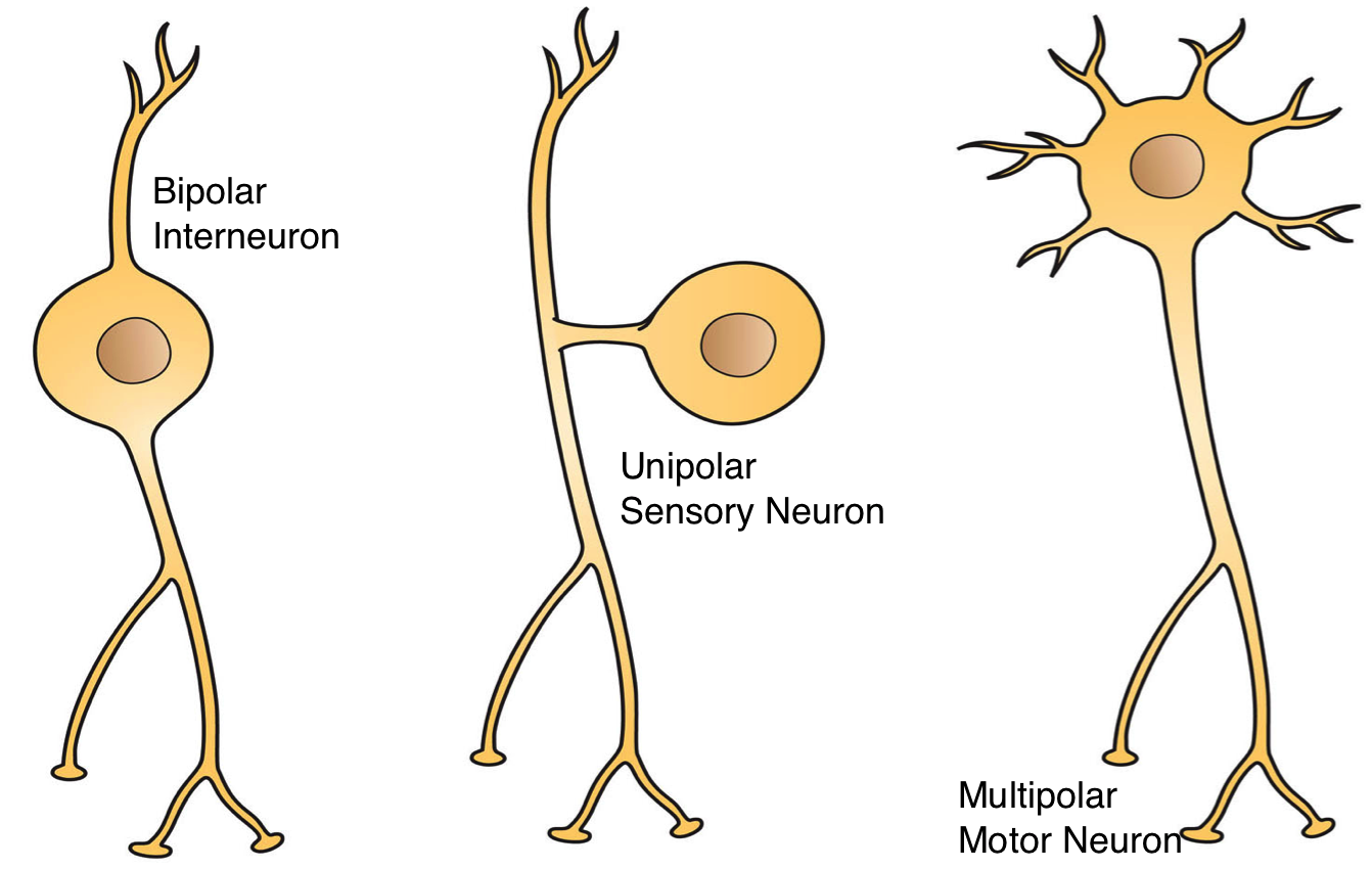 Three Types of Neurons Description Three Basic Types