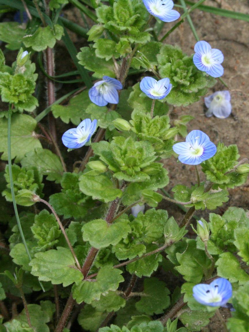 Bloom Clock Keys Southeastern Pennsylvania May Blue