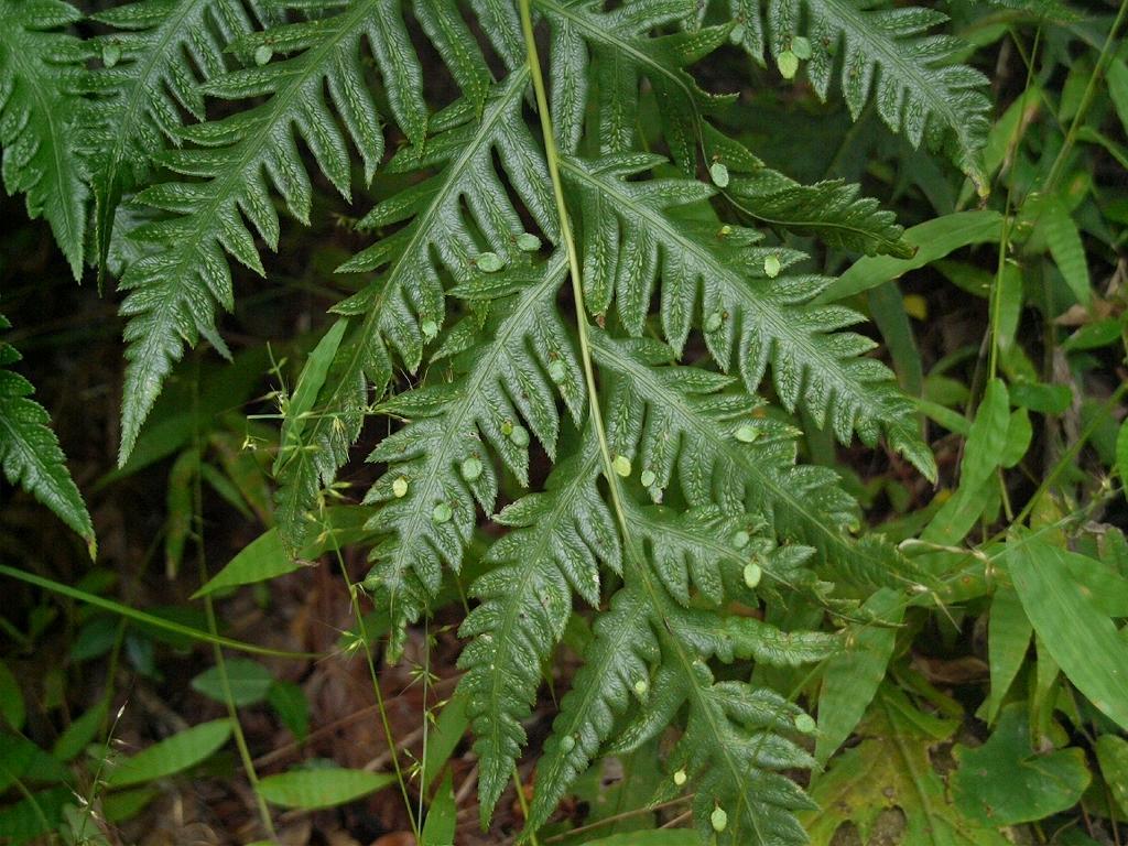 Garden Woodwardia Images