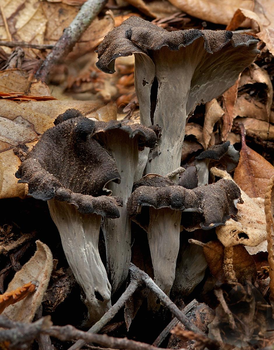 Craterellus cornucopioides wikipedia - Cuisiner trompette de la mort ...