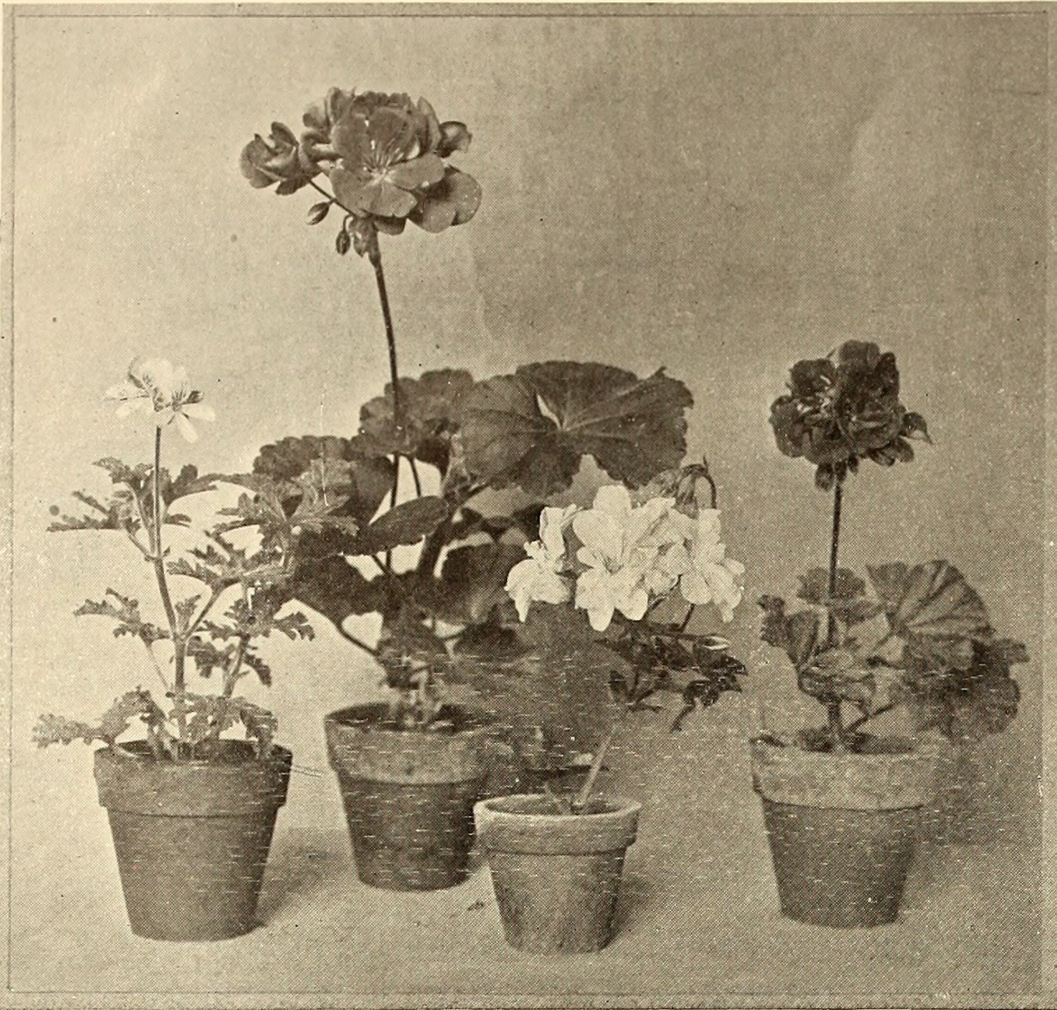 leaf-forms, all very attractive, but more recent introductions have shown improvements in the plant form and size of flower,—the two objectionable characteristics