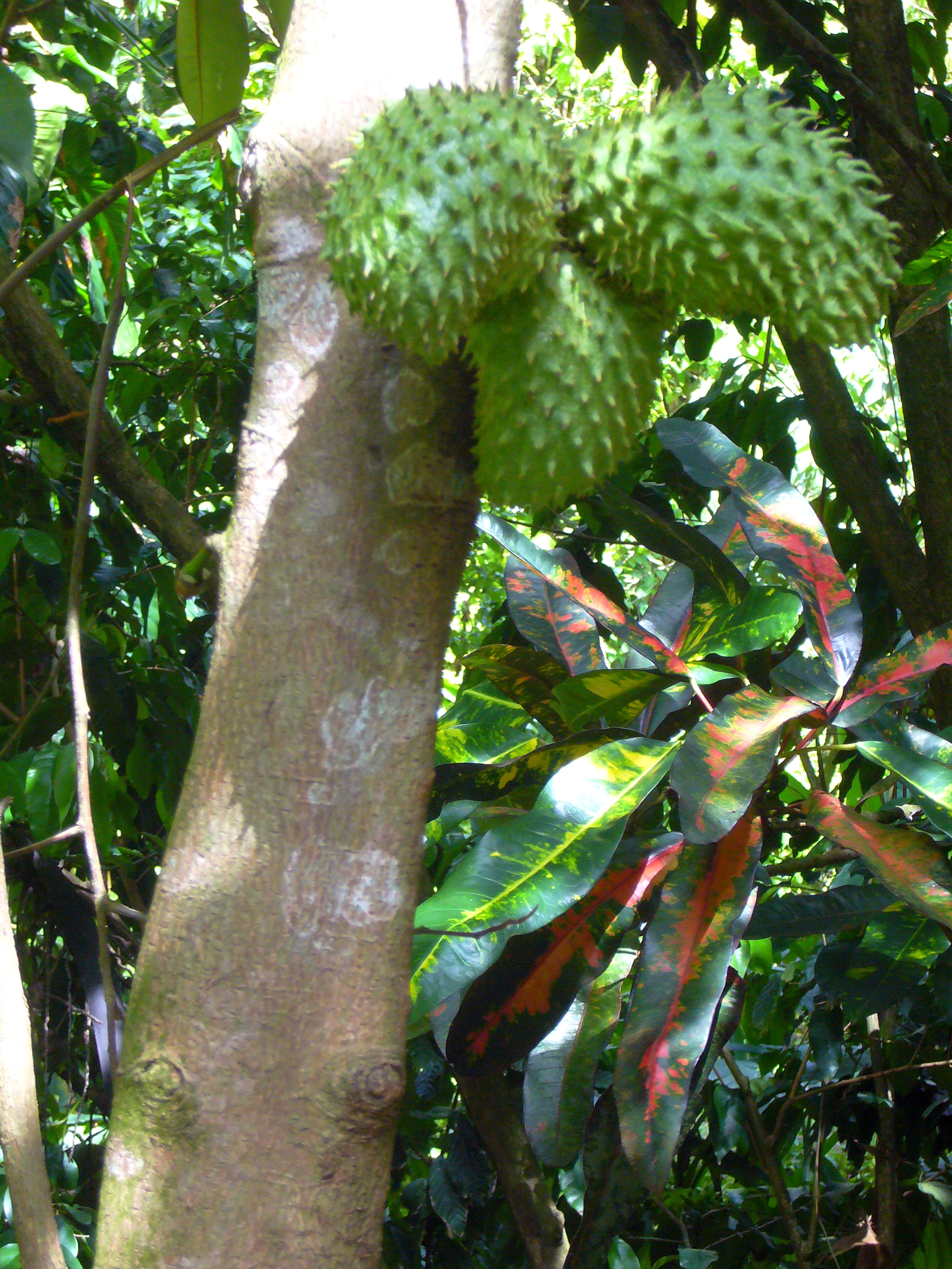 File annona muricata soursop tree with for Arbre exotique exterieur