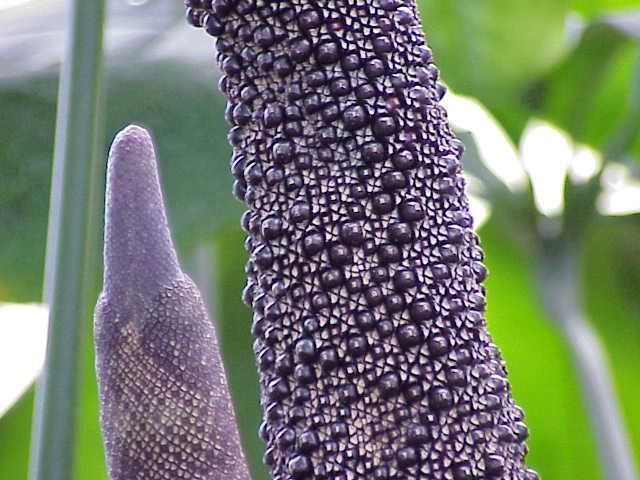 List of anthurium species wikipedia - Anthurium turenza ...