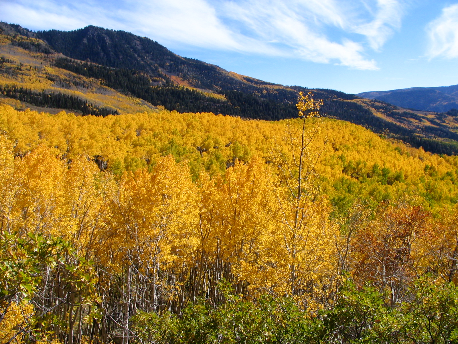 Aspen Overview in Fishlake National Forest, Utah, USA