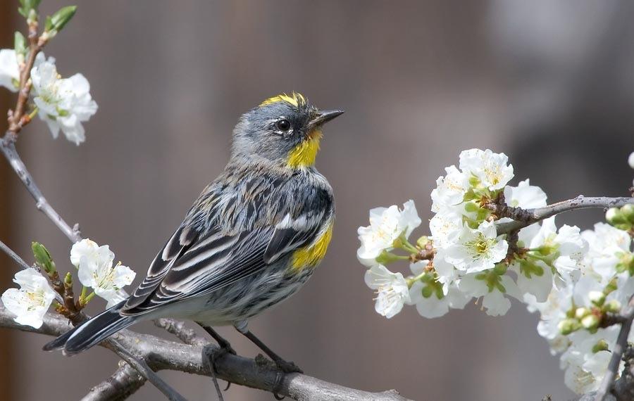 Yellow-rumped warbler - Wikipedia