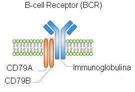 Recettore delle cellule b wikipedia for B b com