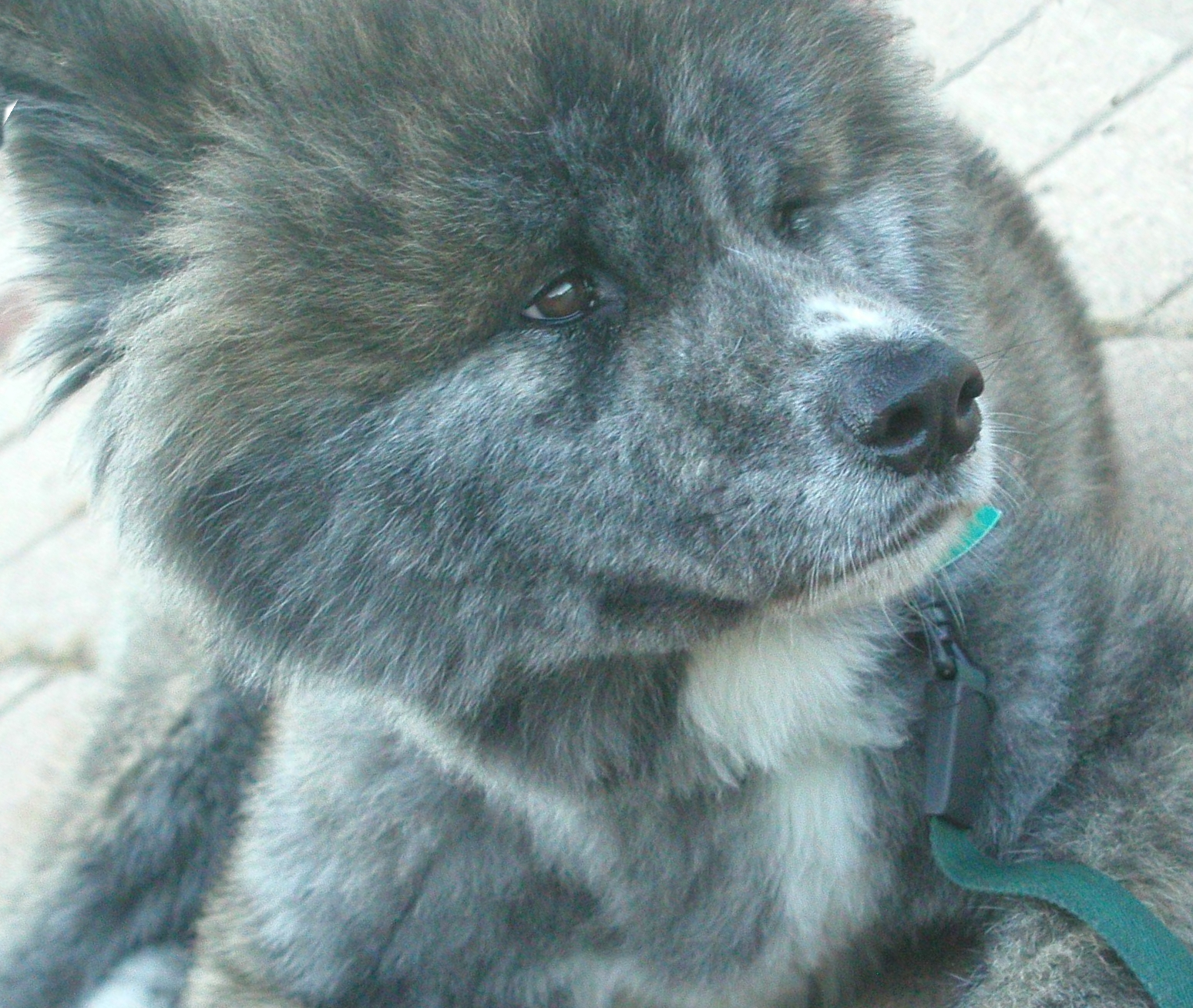 File:Brindle Moku Akita Inu - Medium Length Clipped Fur - Face Shot ...