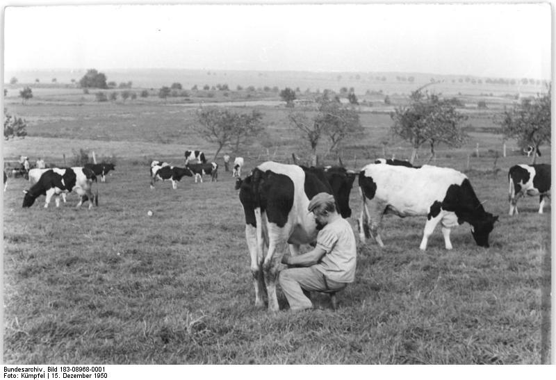 Bundesarchiv Bild 183-08968-0001, Bauer beim Melken auf der Weide.jpg