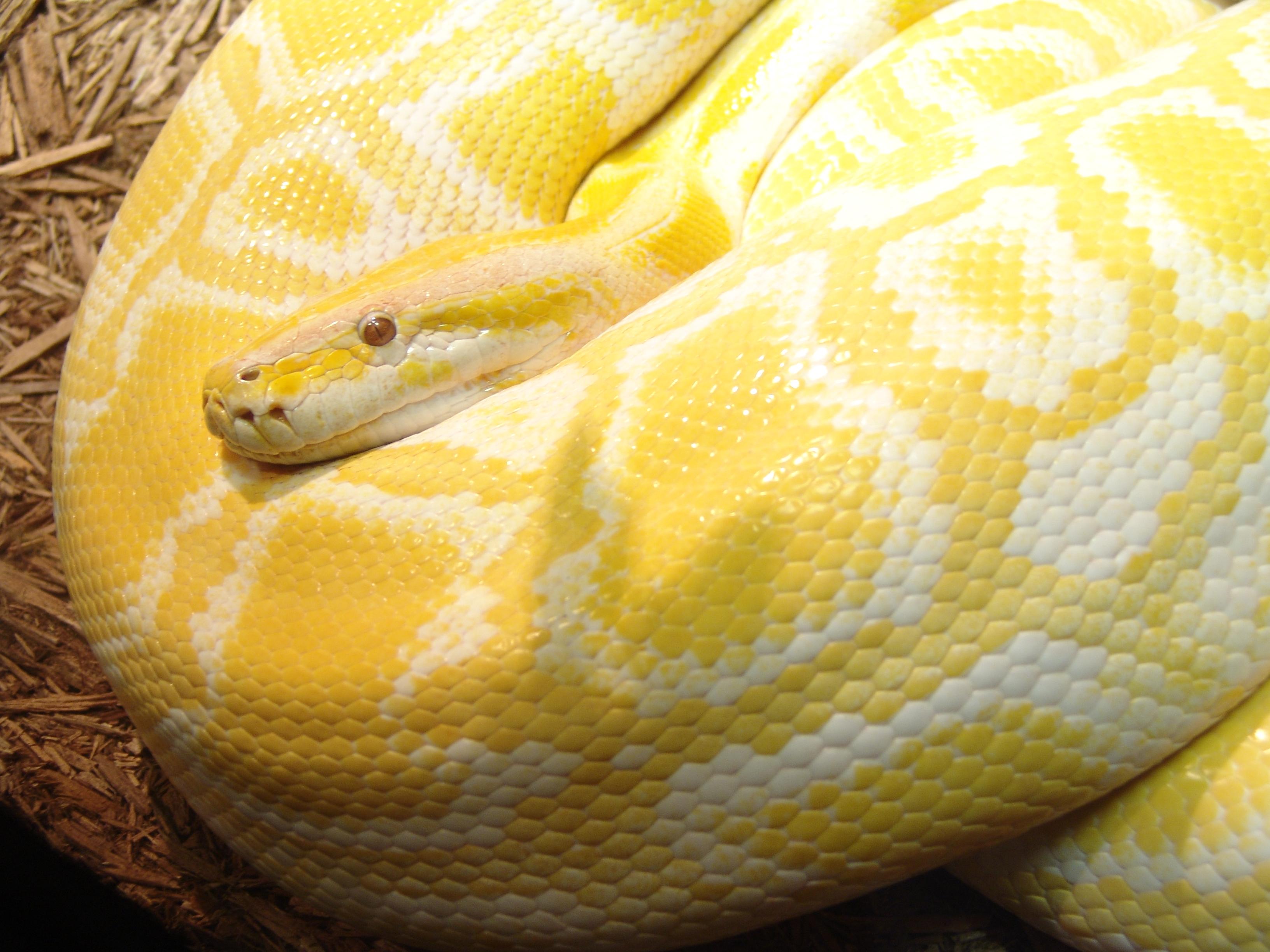 Burmese python - Burmese Python: WhoZoo