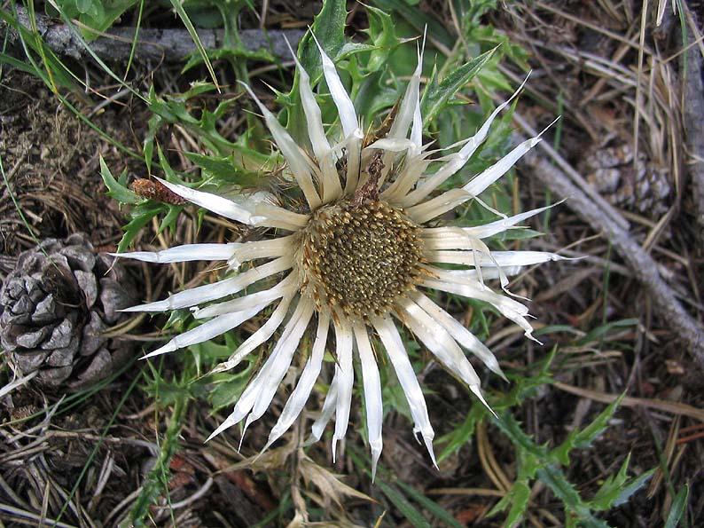 Carline acaule en fleur