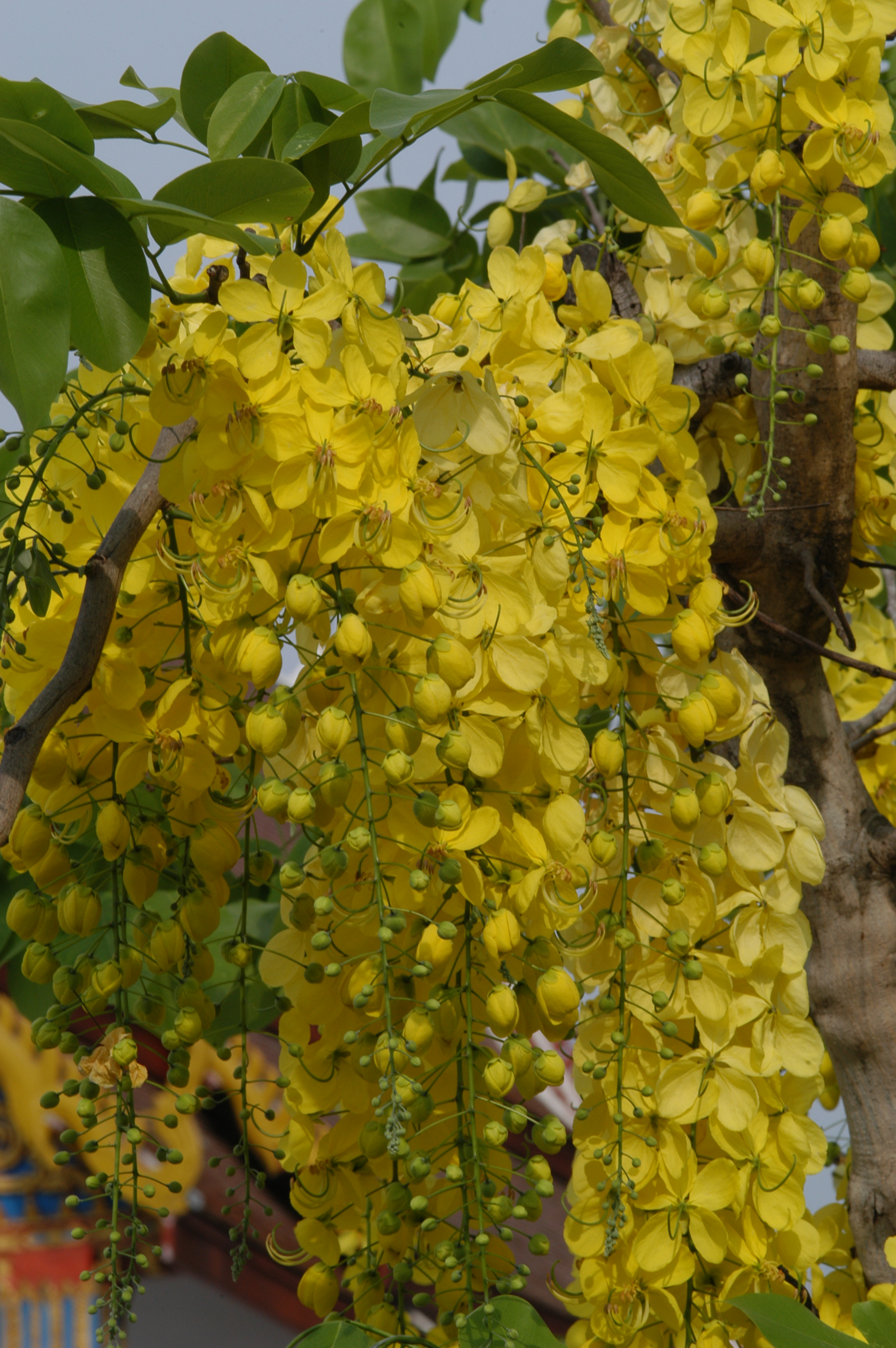 File:Cassia fistula03.JPG - Wikimedia Commons