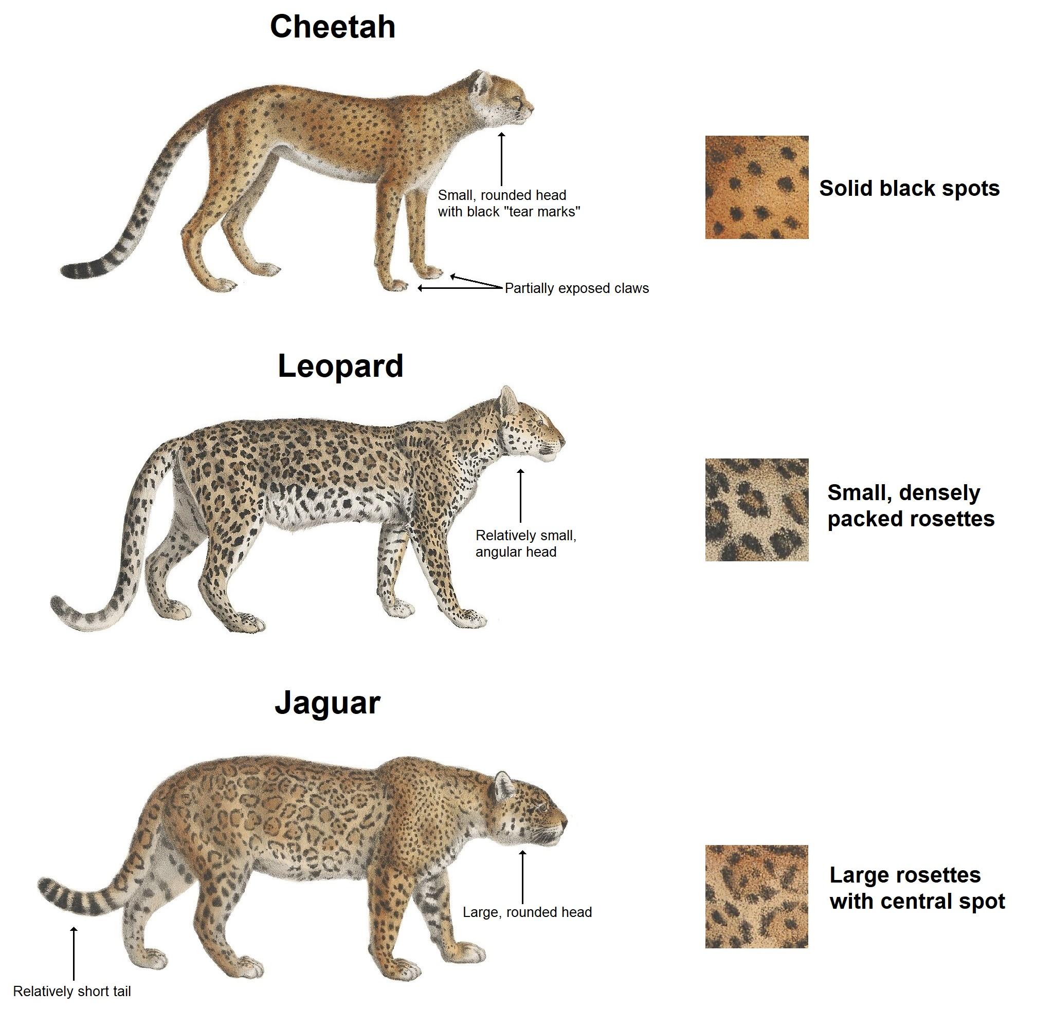 Cheetah, leopard & jaguar (en).jpg