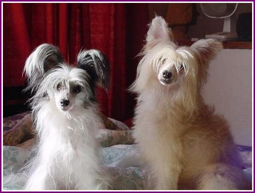 perros crestado chino