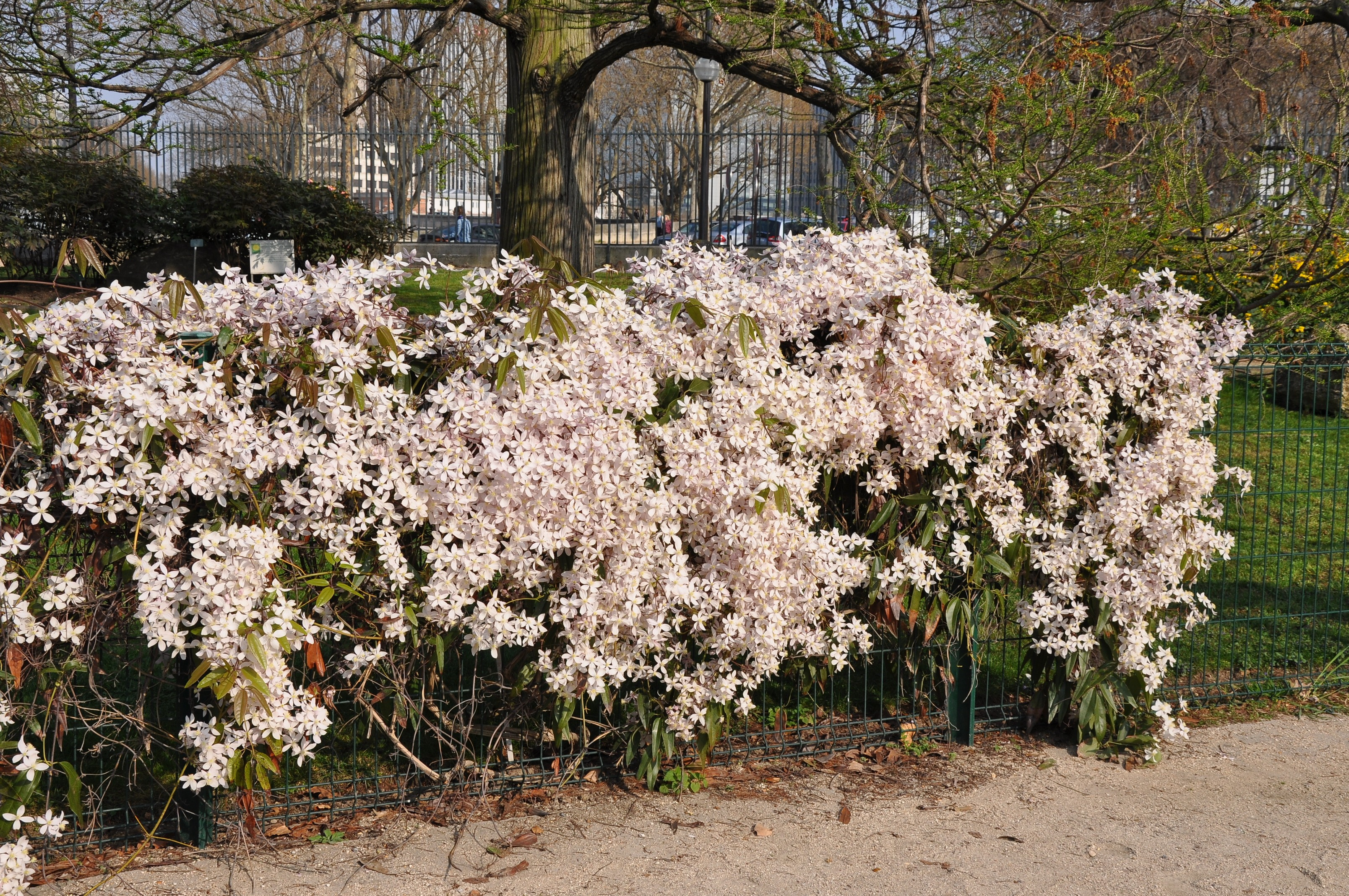 file clematis 39 apple blossom 39 in the jardin des plantes de paris 003 jpg wikimedia commons. Black Bedroom Furniture Sets. Home Design Ideas