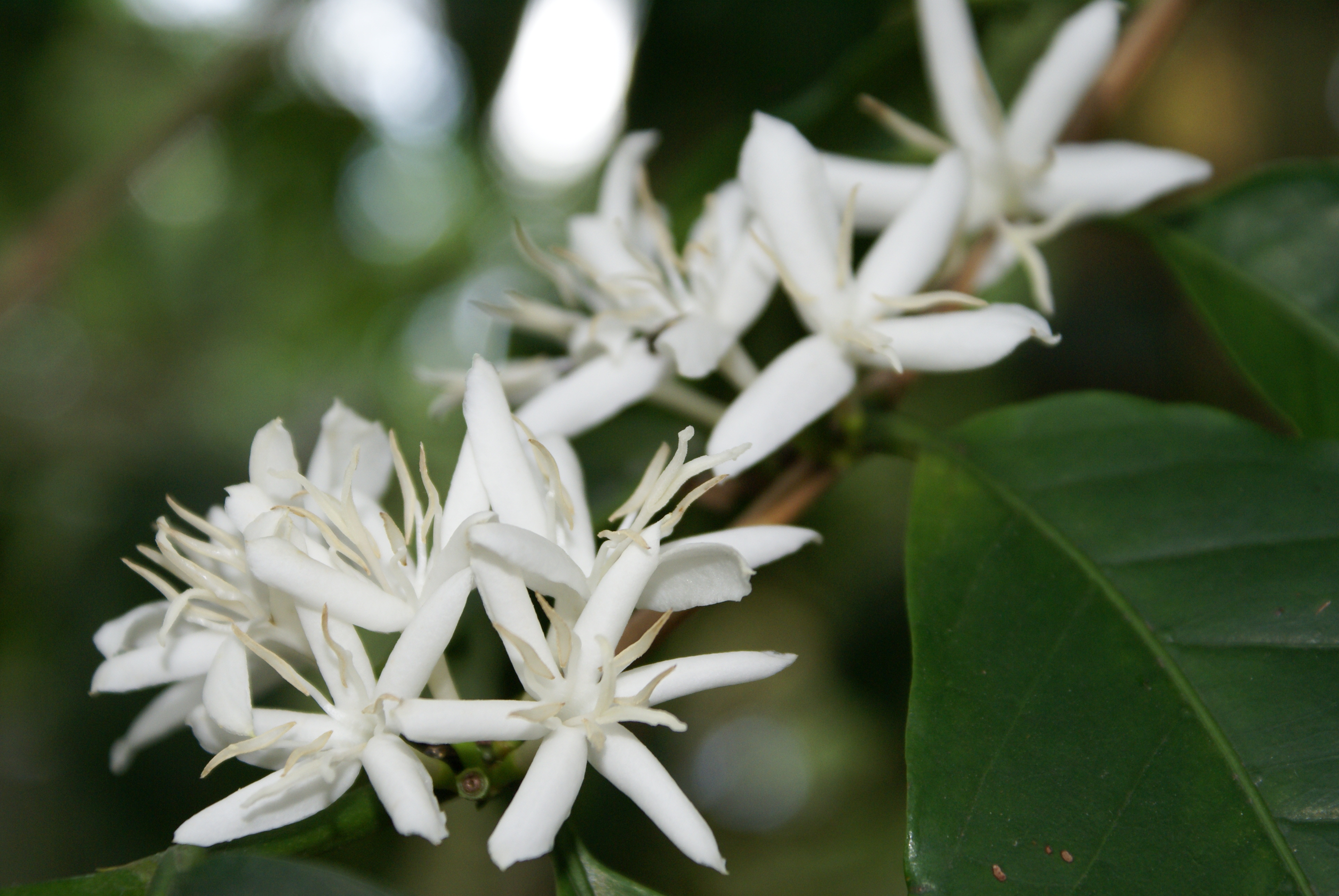 file coffea arabica flowers jpg wikimedia commons