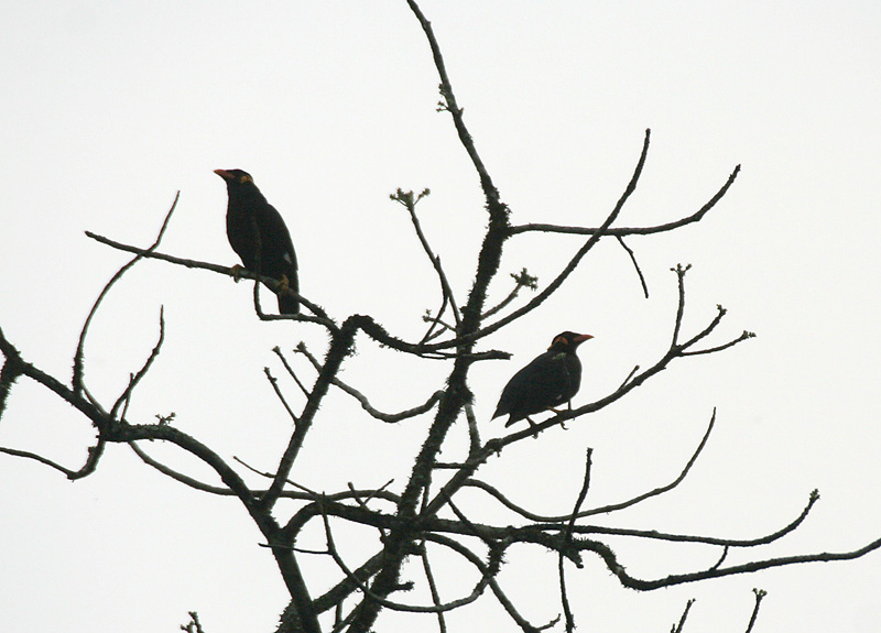 File:Common Hill Myna (Gracula religiosa) at 23 Mile, Duars, West Bengal W IMG 5878.jpg
