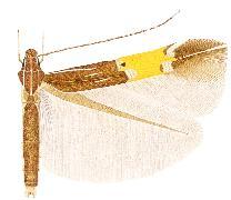 Cosmopterix magophila.JPG