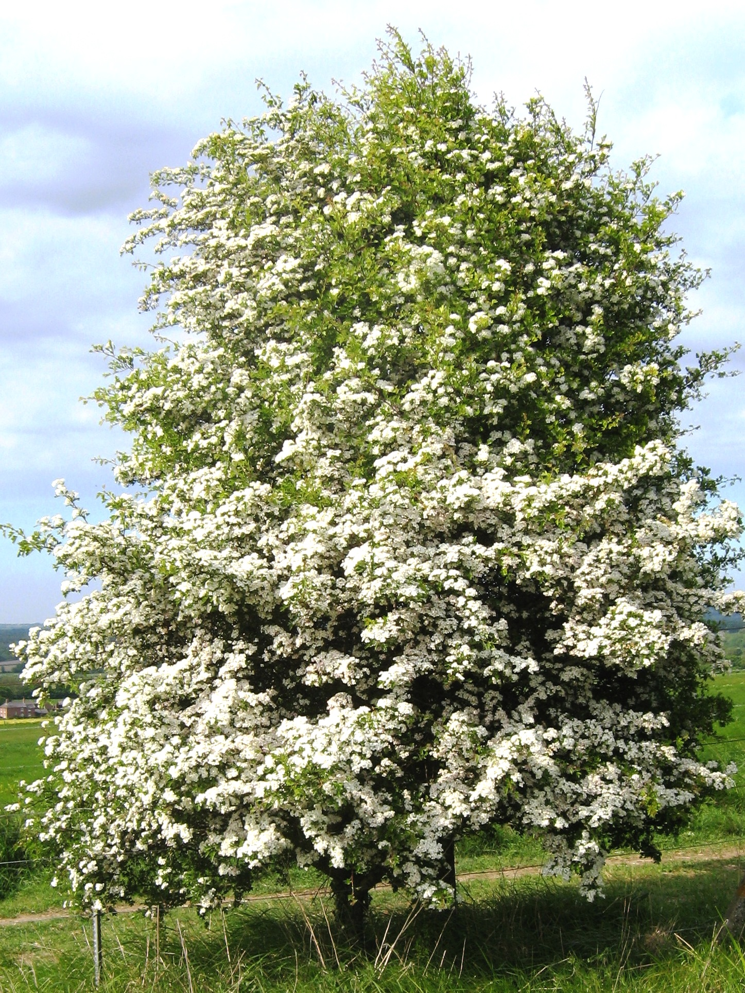 File crataegus monogyna ports wikimedia commons - Piante decorative da giardino ...