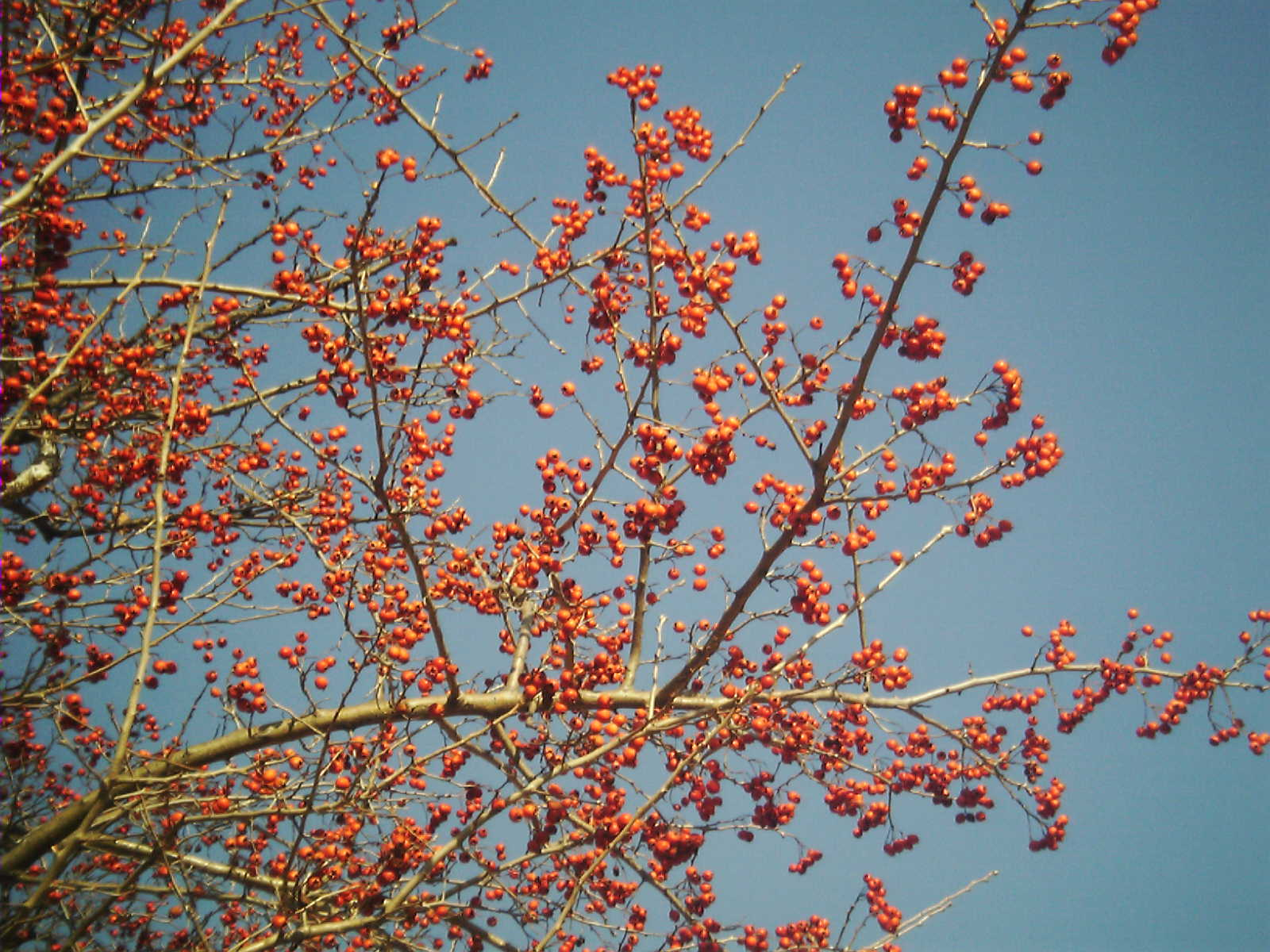 Crataegus pinnatifida fruit, Yongin.jpg