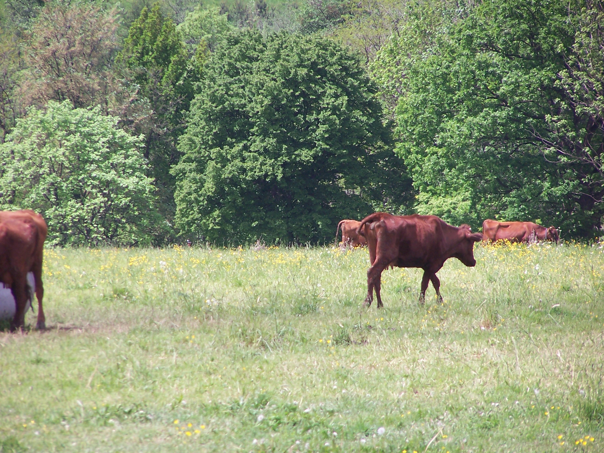 Polish Red cattle