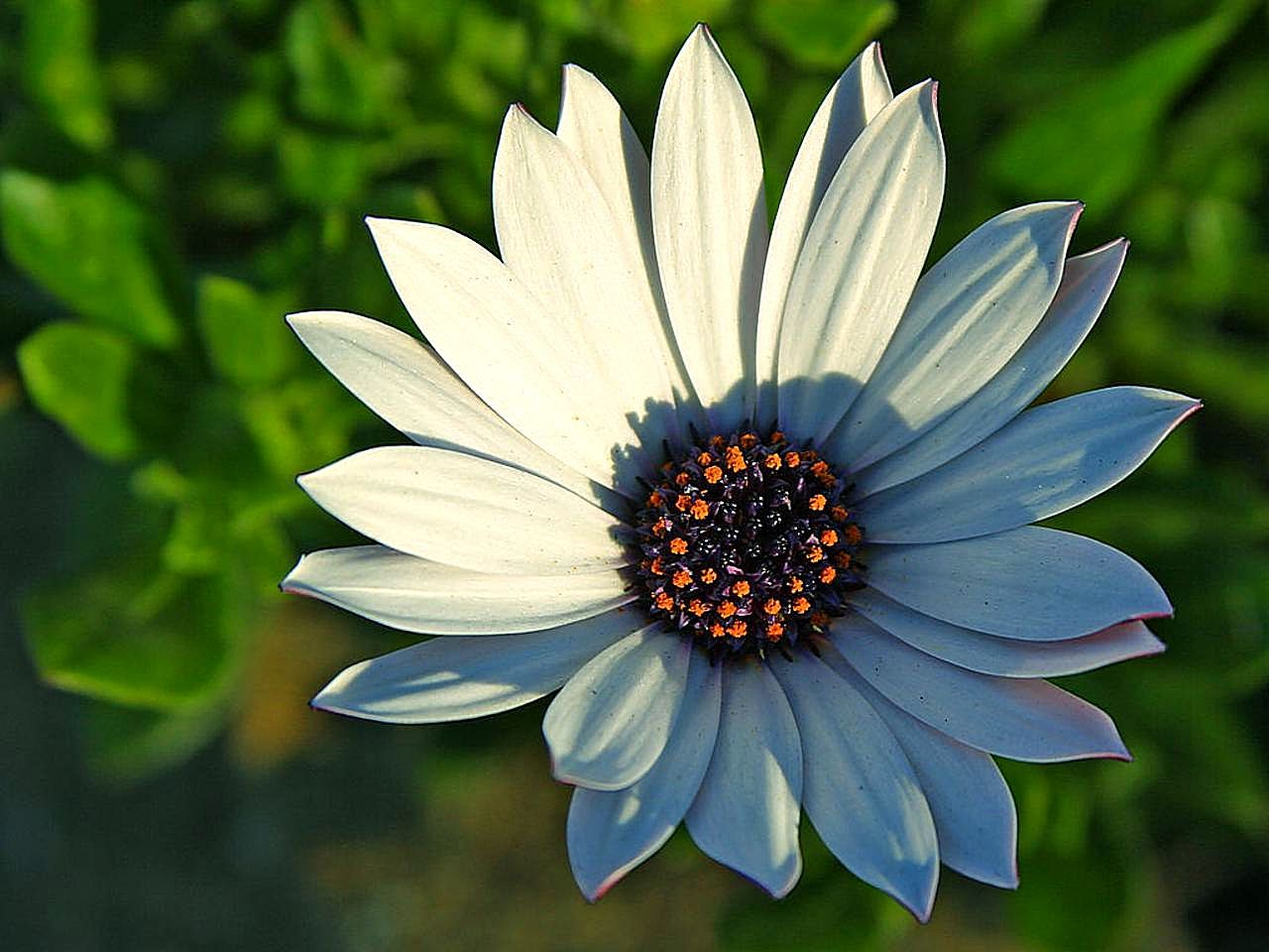 File Daisy daisies flowers petals Wikimedia mons