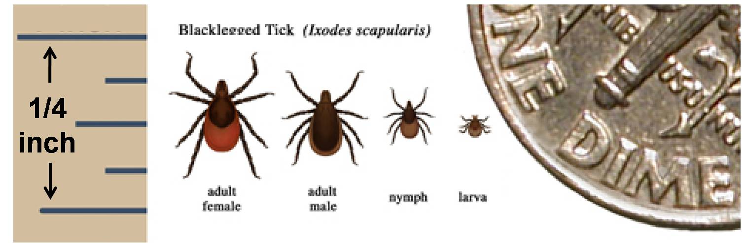 Blacklegged tick By US federal government Center for Disease Control (CDC) [Public domain], via Wikimedia Commons
