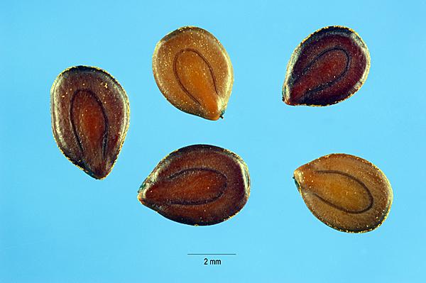 File:Desmanthus illinoensis seeds.jpg