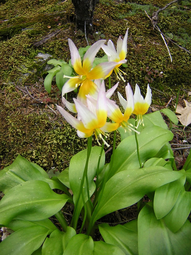 Erythronium Taylorii Wikipedia