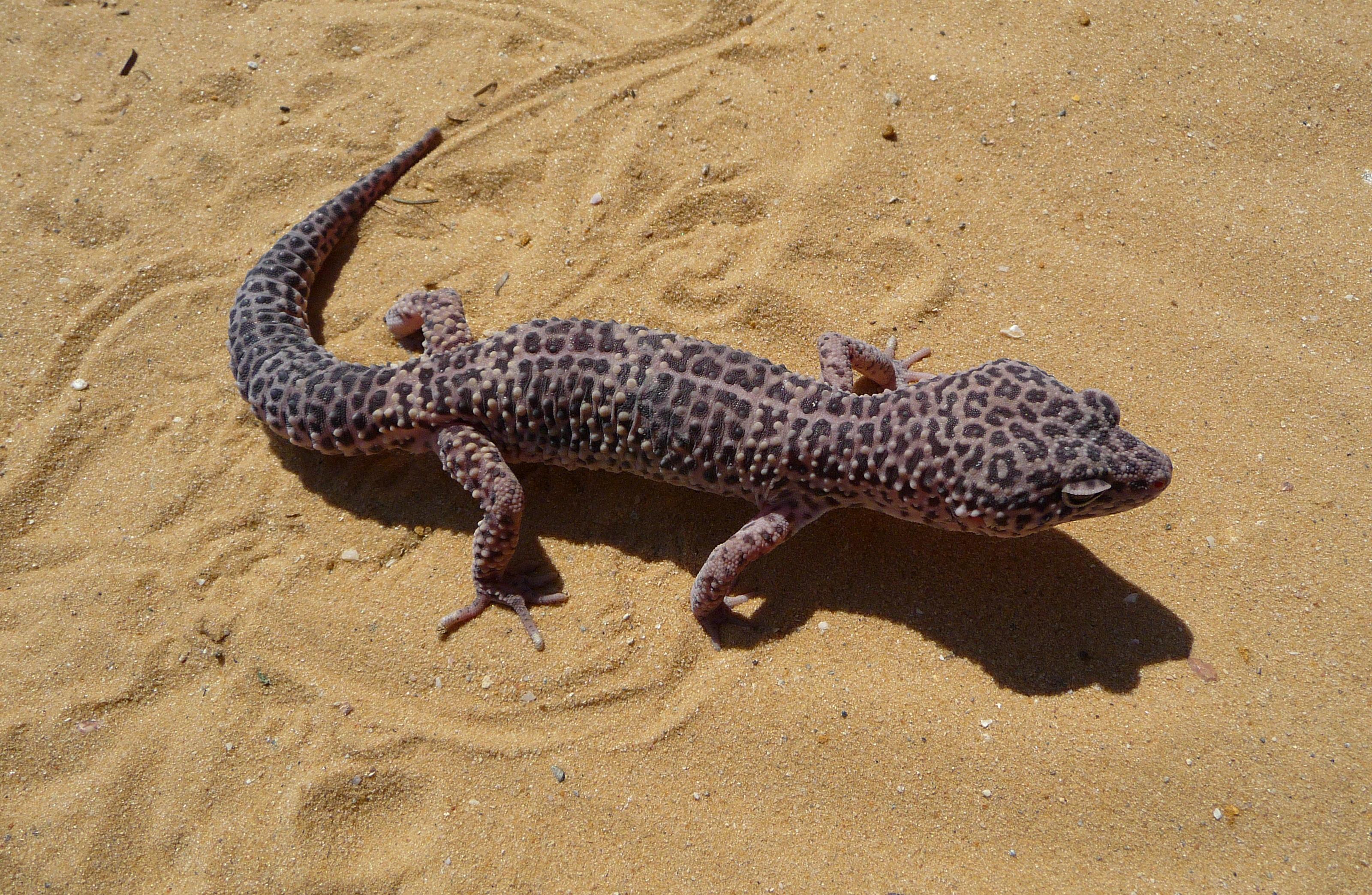 File:Juvenile-leopard-gecko-2.jpg - Wikimedia Commons