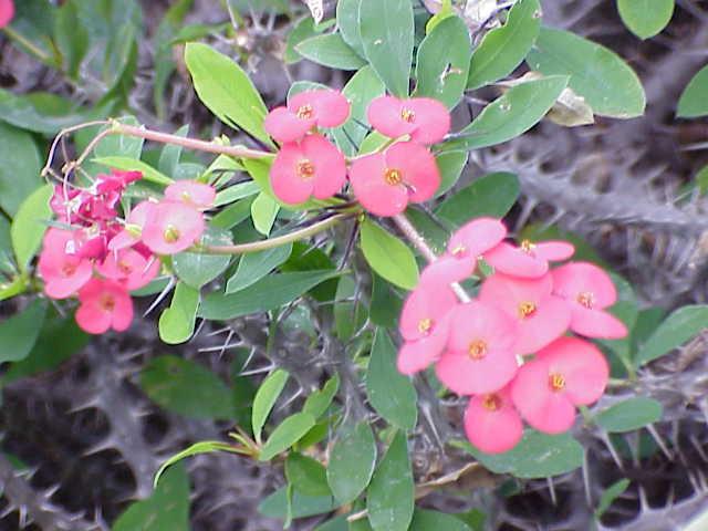 File:Euphorbia milii3.jpg
