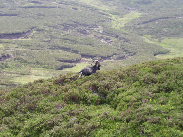 Feral goat below the summit of Ben Venue - geograph.org.uk - 1310768